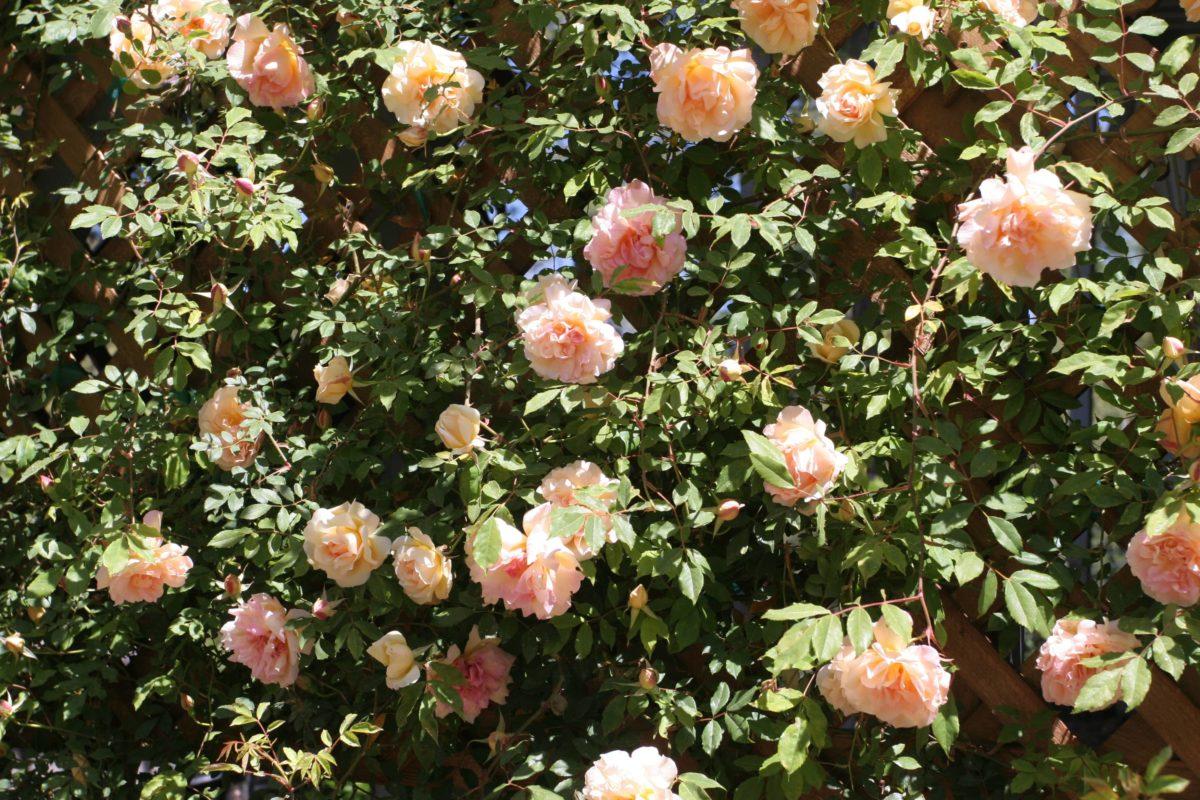 Rose-Gdns-30-min